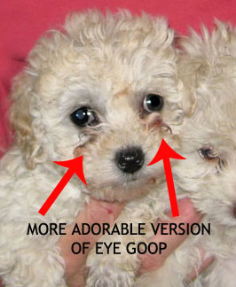 puppy-eye-goop
